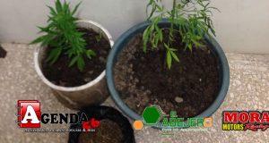 Plantas-marihuana