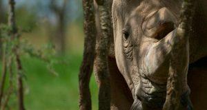 muere-en-kenia-rinoceronte