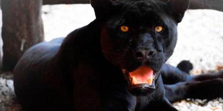 recuperan-jaguar
